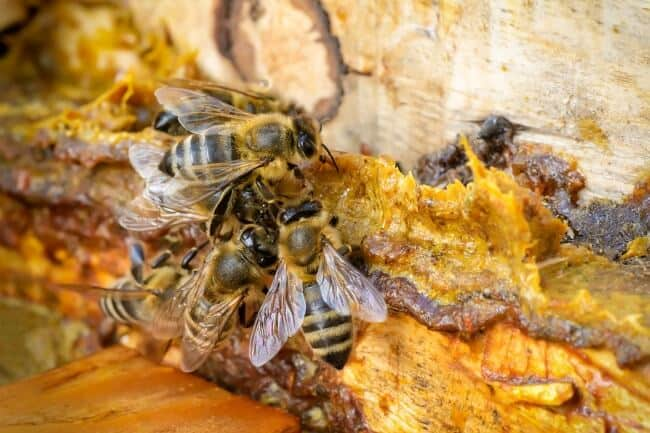 Natural Remedies for Cold and Flu - propolis